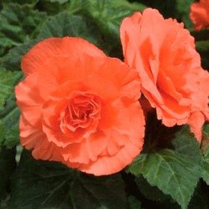 Gave til oldeforældre » blomster til haven